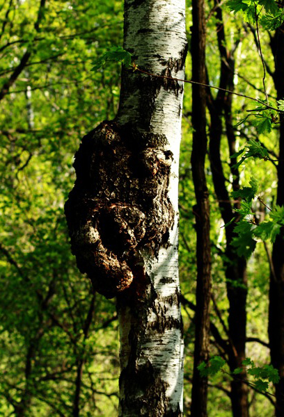chaga on birch