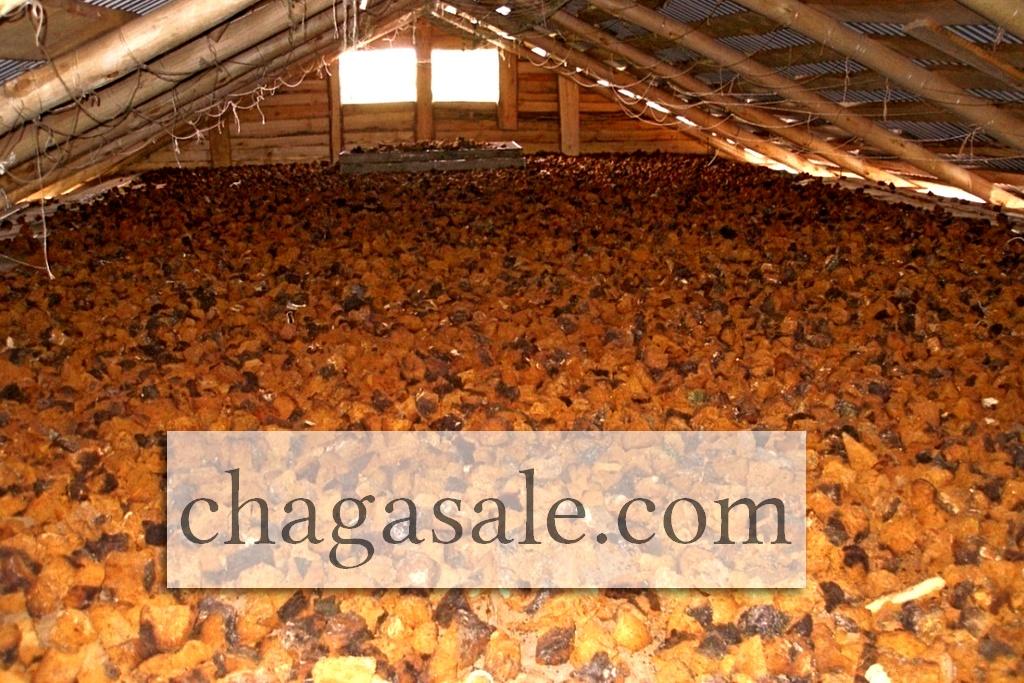 chaga wholesale